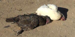 وباء نيوكاسيل البريطاني يقضي على الطيور والدجاج المنزلي في قرى منطقة آليان